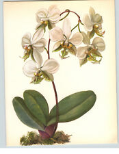 1922 Color Book Plate Framable Orchid Images Phalaenopsis stuartiana White Green
