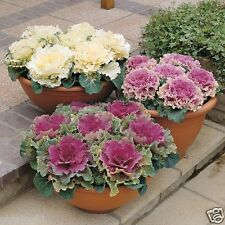 Ornamental Mixed Color Cabbage , 20 Seeds, SVS-616, , Kale -Brassica oleracea ,