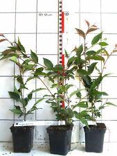 """Prunus kurilensis """"Ruby""""  -  niedrige Strauchzierkirsche"""
