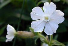 25 White Campion Wildflower seeds ~ Organic ~ Silene latifolia
