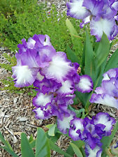 Tall Bearded Iris JESSIES SONG (bare rooted rhizome)