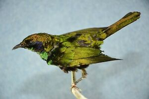 Very Rare Emerald Starling Taxidermy Bird Mounts Fly Tying Feathers Craft Antler