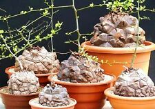 Dioscorea Elephantipes rare Testudinaria elephant foot yam Caudiciform 20 seeds