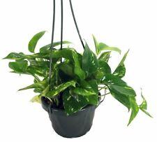 "Epipremnum Golden Devil's Ivy Pothos Indoor Plant Clean Air 6""Hanging Pot House"
