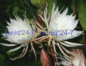 (1) Unrooted CUTTING Epiphyllum Oxypetallum Fragrant Orchid Cactus Cereus
