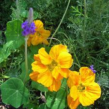 NASTURTIUM Whirlybird Yellow Seeds (F 353)