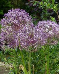 Allium Christopher 10 Bulbs per pack 50 cm