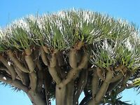 DRAGON TREE SEEDS DRAGONS BLOOD DRACAENA DRACO SEED FLOWERING 10 SEED PACK
