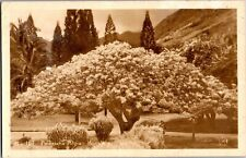 RPPC Poinciana Regia Honolulu Hawaii Vintage Postcard V03