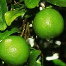 Dwarf Key Lime Tree 2 Dwarf Trees Both Lime Produces Full Sz Fruit