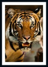 FULL COLOR MAJESTIC TIGER LARGE PHOTO PRINT ONLY OR FRAMED