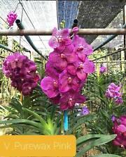 Vanda orchidee pure Wax Rosa pianta giovane M 2-7
