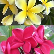 4 Pack Plumeria Plant Cuttings 8 - 10 Inch (2 Red, 2 Yellow)