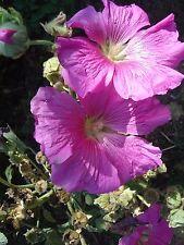 graines de roses tremières  100 graines