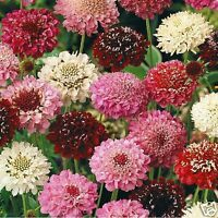 Scabiosa Tall Double Mix Seed Annual  Good Cut Flower Long Vase life