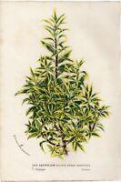 Van Houtte 1868 Antique Print: ILEX AQUIFOLIUM Flower Botanical Decor Gift