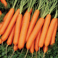 Zanahoria Nantesa Toro  ( 2500 semillas ) seeds - carrot huerto jardin