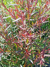 Leptospermum Copper Glow (Tea Tree) in 50mm forestry tube native plant
