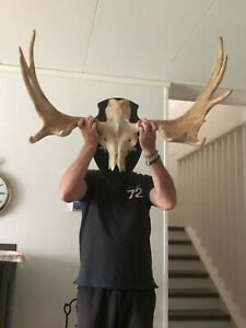 TAXIDERMY SWEDISH WHOLE MOOSE SKULL WITH HORNS/ANTLERS VERY GOOD CONDITION MOUNT