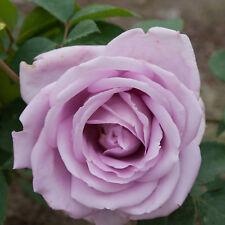 Großblumige Rosen lila blühend  im Topf, leicht duftende Edelrose Waltz Time