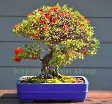 JAPANESE QUINCE - 30 seeds -  Chaenomeles japonica - bonsai seeds indoor outdoor