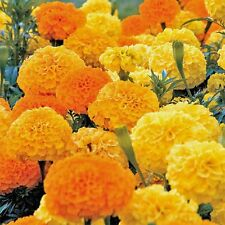 Marigold African Crackerjack HEIRLOOM Seeds