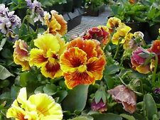 "Pansy Seeds Victorian Flame 50 Seeds ""Unique Look"""