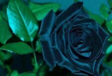 5 graines rosier bleu nuit