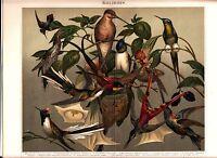 ca 1890 HUMMINGBIRD BIRDS Antique Chromolithograph Print