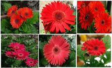 Bright RED Gerbera(Gerber) Daisy Beautiful Large Blooms Annual Flowers 25 Seeds