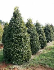 Qty 60 Oakleaf Holly Ilex x Conaf Live Evergreen Privacy Trees
