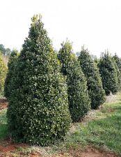 Qty 60 Oakleaf Holly Ilex x Conaf Live Evergreen Privacy Trees