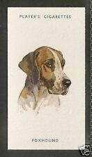 1940 Uk Peter Biegel Dog Art Head Study Player Cigarette Card English Foxhound