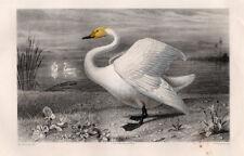 Gravure coloriée 1880. Le Cygne