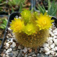 Notocactus graessneri flaviflorus Cactus Cacti Succulent Real Live Plant