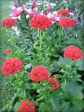 70 Red Lychnis Coronaria / Rose Campion / Catchfly Flower Seeds + Gift & CombS/H