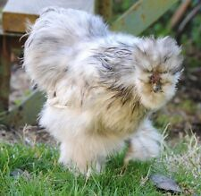 12 Fertile Silkie chicken hatching eggs