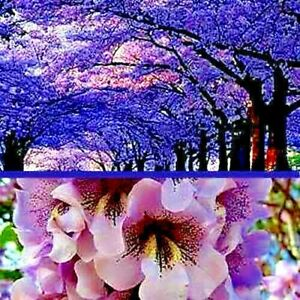 100 Royal Empress (Paulownia tomentosa) Seeds FASTEST GROWING TREE in the WORLD!