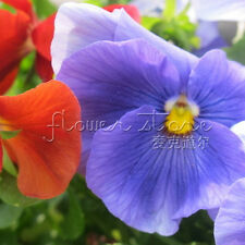 100 Beautiful Pansy Flower Seeds Wavy Tricolor  Seeds Bonsai Potted Garden TT063