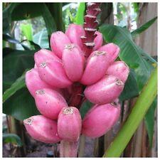 10 Semillas - Rara Banana Rosa - MUSA VELUTINA - Platano - Fruta Flores Jardin