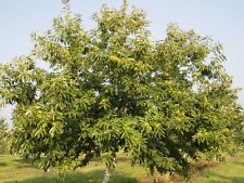 Chinese Chestnut Tree Castanea mollissima Heavy Established Roots 1 Gallon Trade