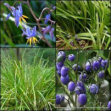 7 Dianella longifolia Native Smooth Flax Lily Grass Hardy Garden Plants Flowers