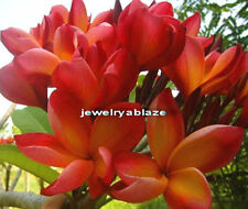 """Cutting of plumeria/Plants/"""" Udon2"""" /12-15 inches !"""