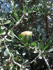 5 fresh seeds of the Argan tree (Argania spinosa) rare exotic fruiting tree