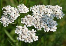 WHITE YARROW PERENNIAL FLOWER 200 FRESH SEEDS FREE USA SHIPPING