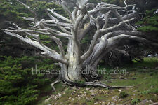 LIMITED EDITION PHOTOGRAPH / 'GHOST TREE' / POINT LOBOS / 22 X 33