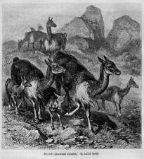 Lama (Lama glama) Kamel Guanako Holzstich 1891