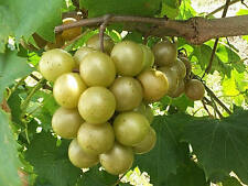 Vitis rotundifolia BRONZE MUSCADINE GRAPE Seeds!