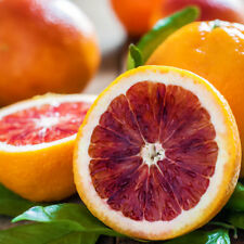 15 pc Red Lemon Bonsai Blood Orange Tree Seed Organic Fruit Seeds Home Orchard