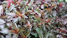 Ludwigia palustris - Hampshire-purslane - Water purslane - Aquarium plant